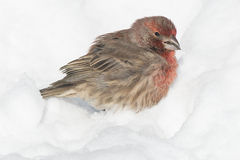 House Finch Stock Photos