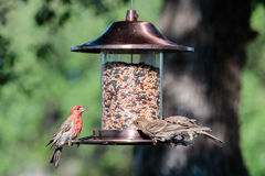 House Finch, Male royalty free stock photography