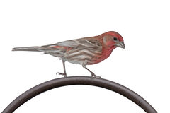 House Finch on a Metal Bar. A house finch struts its red head and striped wings along the top arc of an iron shepards hook. white background stock photos