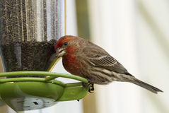 Free House Finch On Bird Feeder Stock Photography - 29152072