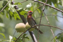 House Finch on Peach Tree. House Finch (Male) on Peach Tree (Carpodacus mexicanus Stock Image