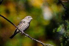 House Finch Perched in Autumn Royalty Free Stock Images
