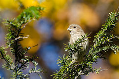 House Finch Perched in Autumn Royalty Free Stock Photos