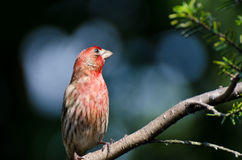House Finch Perched on a Branch Royalty Free Stock Image