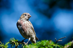 House Finch Perched on Evergreen Branch Stock Image