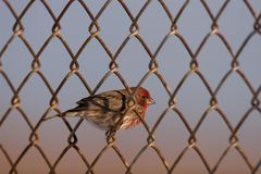 House finch perched on fence. House finch perched on the wires of a chain link fence Stock Photos