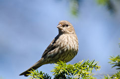 House Finch Perched in a Tree Stock Images