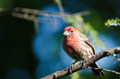 House Finch Perched in a Tree Royalty Free Stock Photography