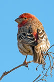 House Finch. Perched on tree branch Royalty Free Stock Photography