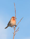 House Finch Pride Stock Images