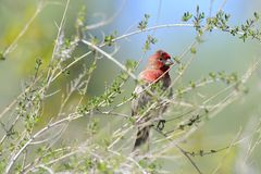 House Finch in the Sonoran Desert Royalty Free Stock Photography