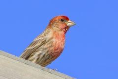 House Finch. Taken at Antietam National Battlefield Royalty Free Stock Image