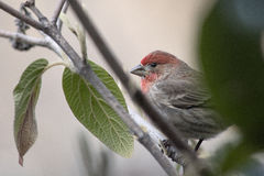 House Finch in Viburnum Bush Royalty Free Stock Photos
