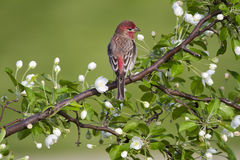 House Finch in White Blossoms Royalty Free Stock Photography