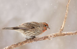 House Finch in winter Royalty Free Stock Photos