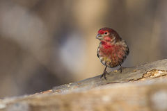 House Finch in winter Stock Photography