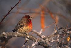 House Finch in Wintry Scene Stock Photo