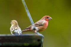 House Finch (Carpodacus mexicanus) picking from a bird feeder Stock Photo