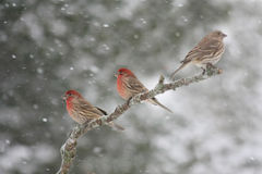 House Finches. In a Snow Storm stock photo