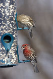 House Finches. Bird feeder in winter feeding on black-oil sunflower seeds and safflower seeds Stock Photos