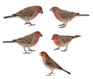 House Finches, Carpodacus mexicanus Stock Photography