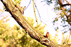 3  house finches. House finch on tree limb Royalty Free Stock Photos