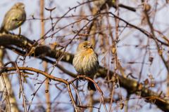 House Finches Haemorhous mexicanus on a birch tree branch, California Stock Images