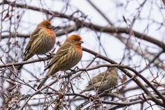 House Finches Haemorhous mexicanus on a birch tree branch, California Stock Photos