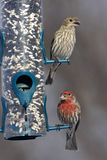 House Finches. Male and Female Eating from a tube feeder filled with black-oil sunflower seeds and safflower seeds Stock Images