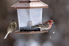 House Finches. Male and female feeding from a hopper feeder spitting out shells Royalty Free Stock Images
