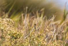 House Finches in Sunlit Grasses Royalty Free Stock Images