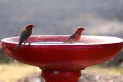 House finches. Two beautiful house finches eating from bird bath Royalty Free Stock Images