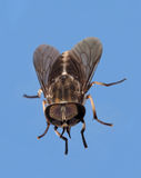 House or Flesh Fly Stock Photo