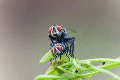 House flies are breeding Stock Photo