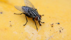 House Flies. HD Stock Photo