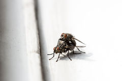 House flies mating Stock Images