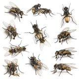 11 House flies. Set of 11 House flies royalty free stock image