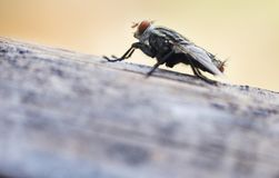 House flies in various natural gestures stock photography
