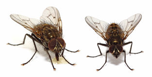 House flies  on white Stock Images
