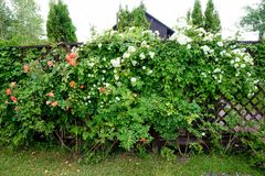 House flowering in spring in the garden coral roses royalty free stock photo