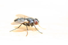 House Fly Royalty Free Stock Photos