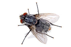 Free House Fly Stock Photo - 10203720