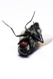 House Fly. Dead house fly isolated with white background Royalty Free Stock Photos