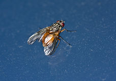 House fly. Common house fly (Musca Domestica) sitting on a window - macro Stock Photo