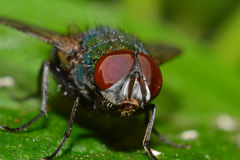 House Fly. Red Eyes Of A Common Fly On A Green Leaf Royalty Free Stock Photos