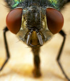 House fly. A closeup of a house fly Stock Photography