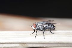 A house fly. Is staying on the floor Stock Photography