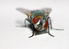 Free House Fly Stock Photo - 279640