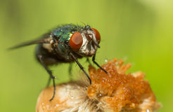 House Fly royalty free stock photo