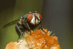 House Fly Royalty Free Stock Photography